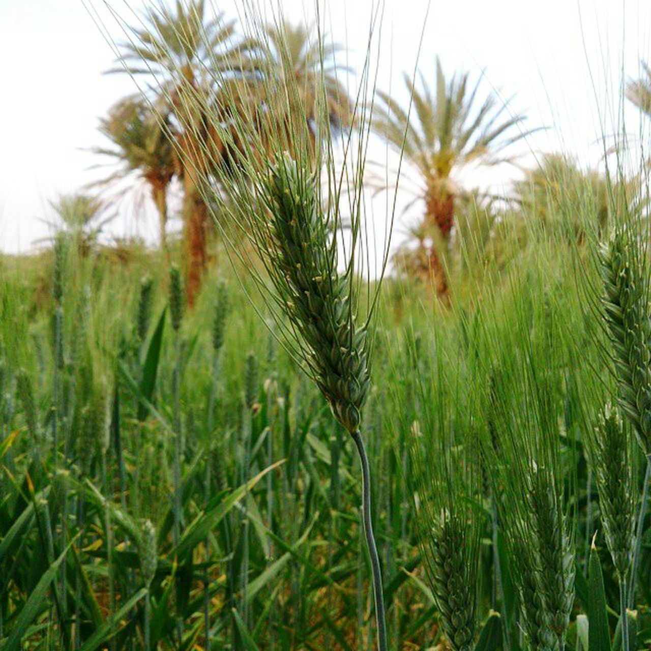 Morocco Errachidia Tadighoust Cereal Plant Nature Field Beauty In Nature Growth Agriculture Close-up Plant Outdoors No People Day Sky