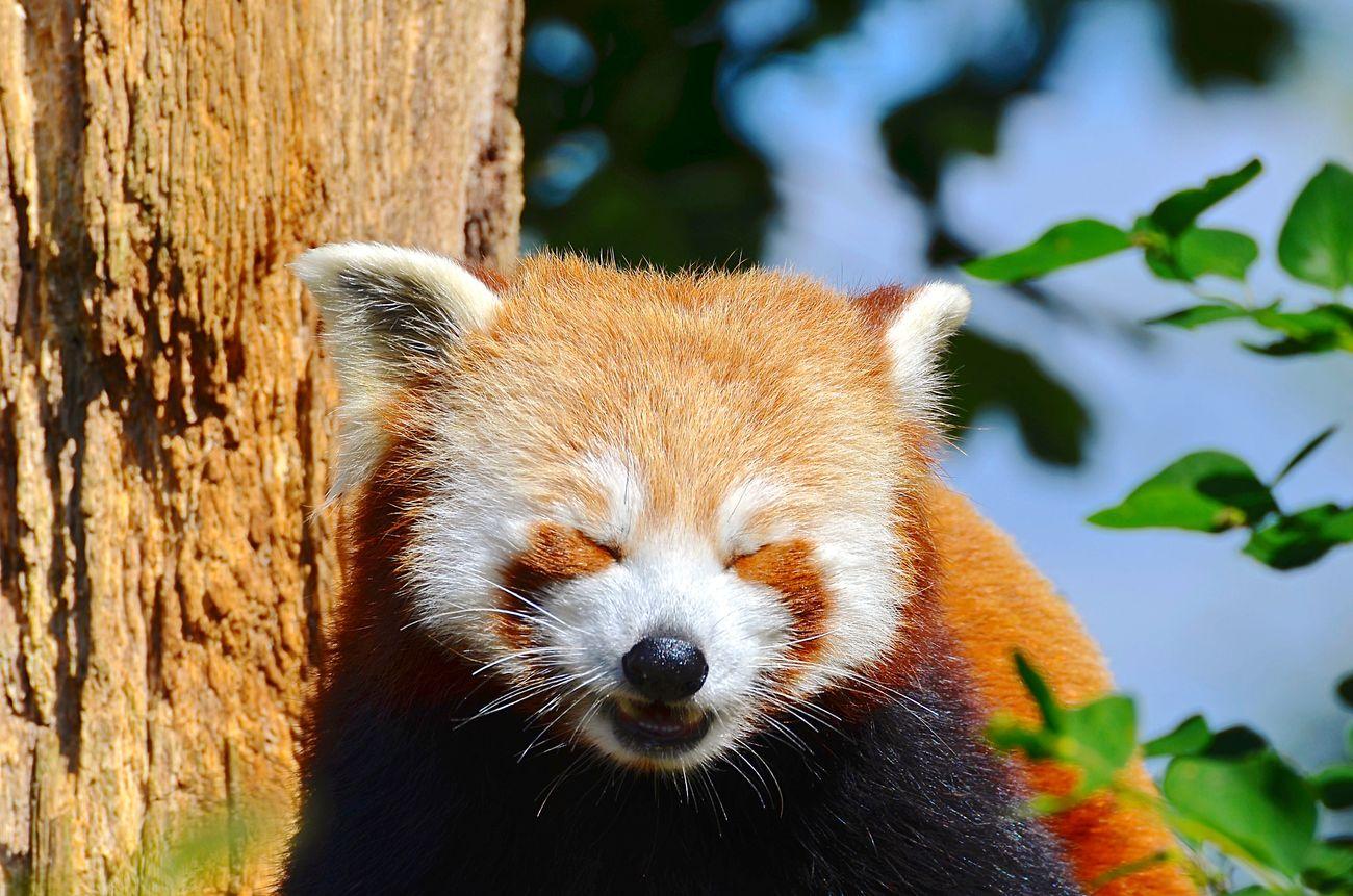 One Animal Animal Themes Red Panda Mammal Animals In The Wild Tree Focus On Foreground Animal Wildlife Nature Outdoors No People Panda - Animal Close-up Red Panda
