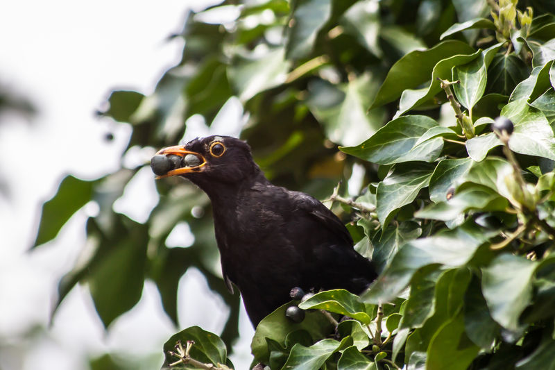 Amsel Amsel Und Beeren Bird Photography Bird With Berries Birds Birds Of EyeEm  Birds_collection Birds_n_branches Blackbird Blackbird And Berries Blackbird In Tree Blackbirds Vogel EyeEmNewHere