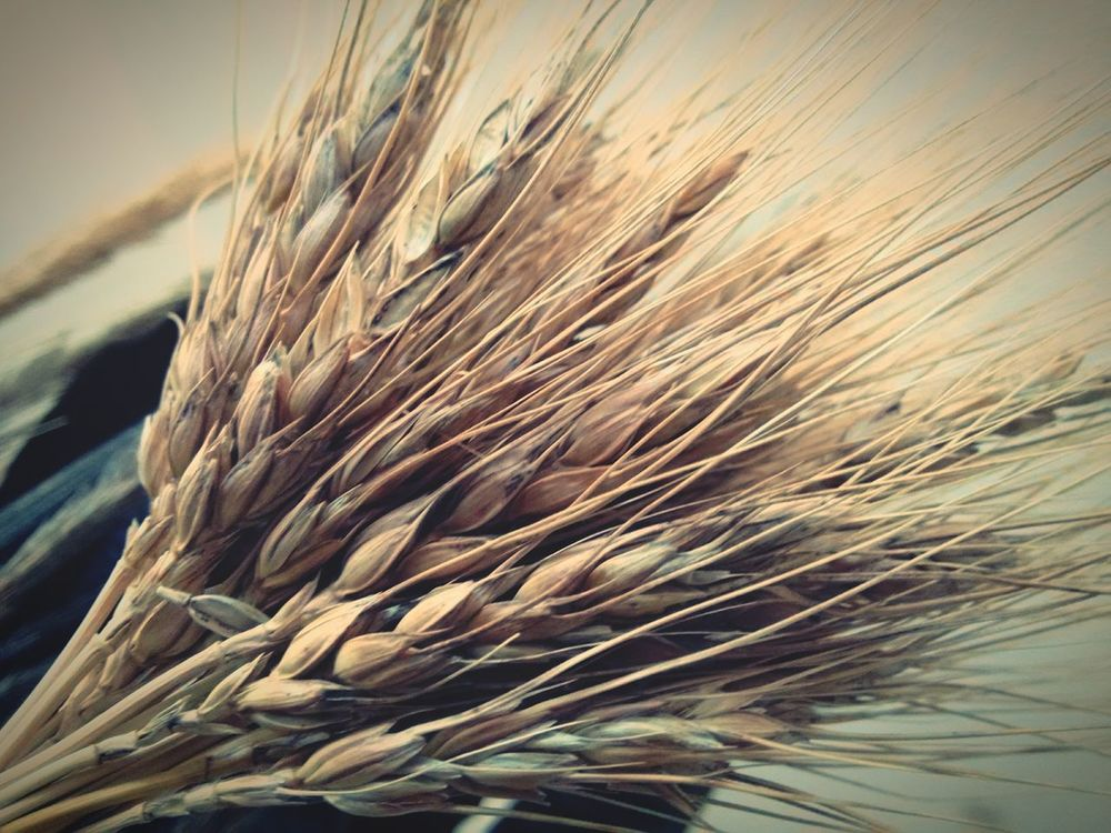 Wheat Perspectives Point Of View Taking Pictures Minimalism Textures And Surfaces Wheat Spikes From My Point Of View
