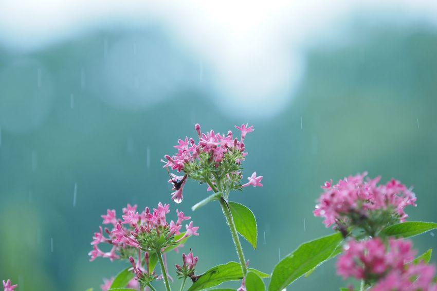 ありがとうもさよならも言わない代わりに、 Flower Growth Nature Plant Fragility Beauty In Nature Pink Color Blooming Day Freshness Close-up Outdoors Flower Head No Filter, No Edit, Just Photography The Week On EyeEm EyeEmNewHere Pentas ペンタス Olympus OM-D EM-1 雨粒を集めよう。