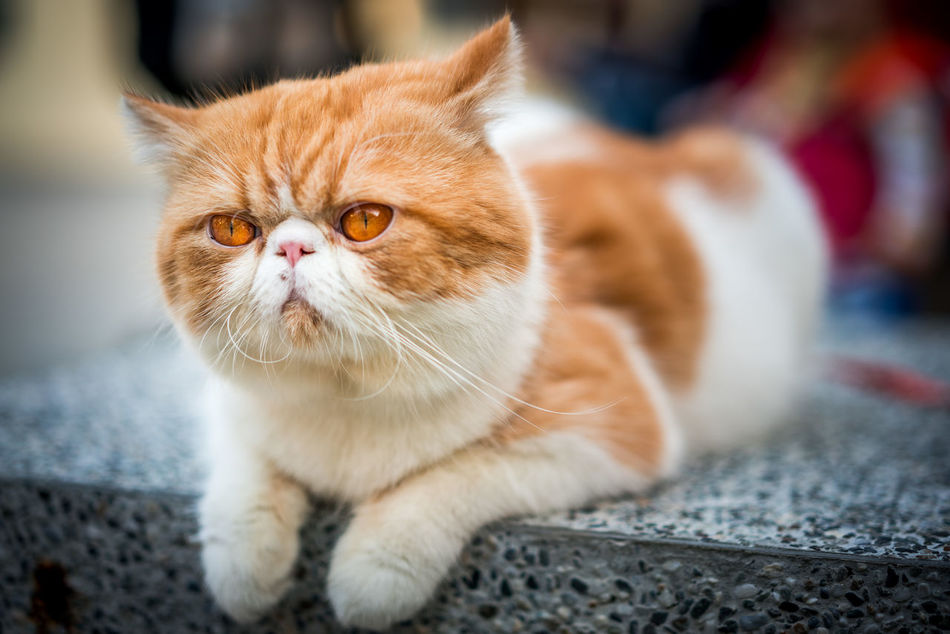 Cute cat watching the crowd Animal Themes Close-up Domestic Animals Domestic Cat Eye Eyes Feline Fluffy Focus On Foreground Fur Ginger Cat Indoors  Kitty Mammal No People One Animal Orange Pets Portrait Resting Sitting