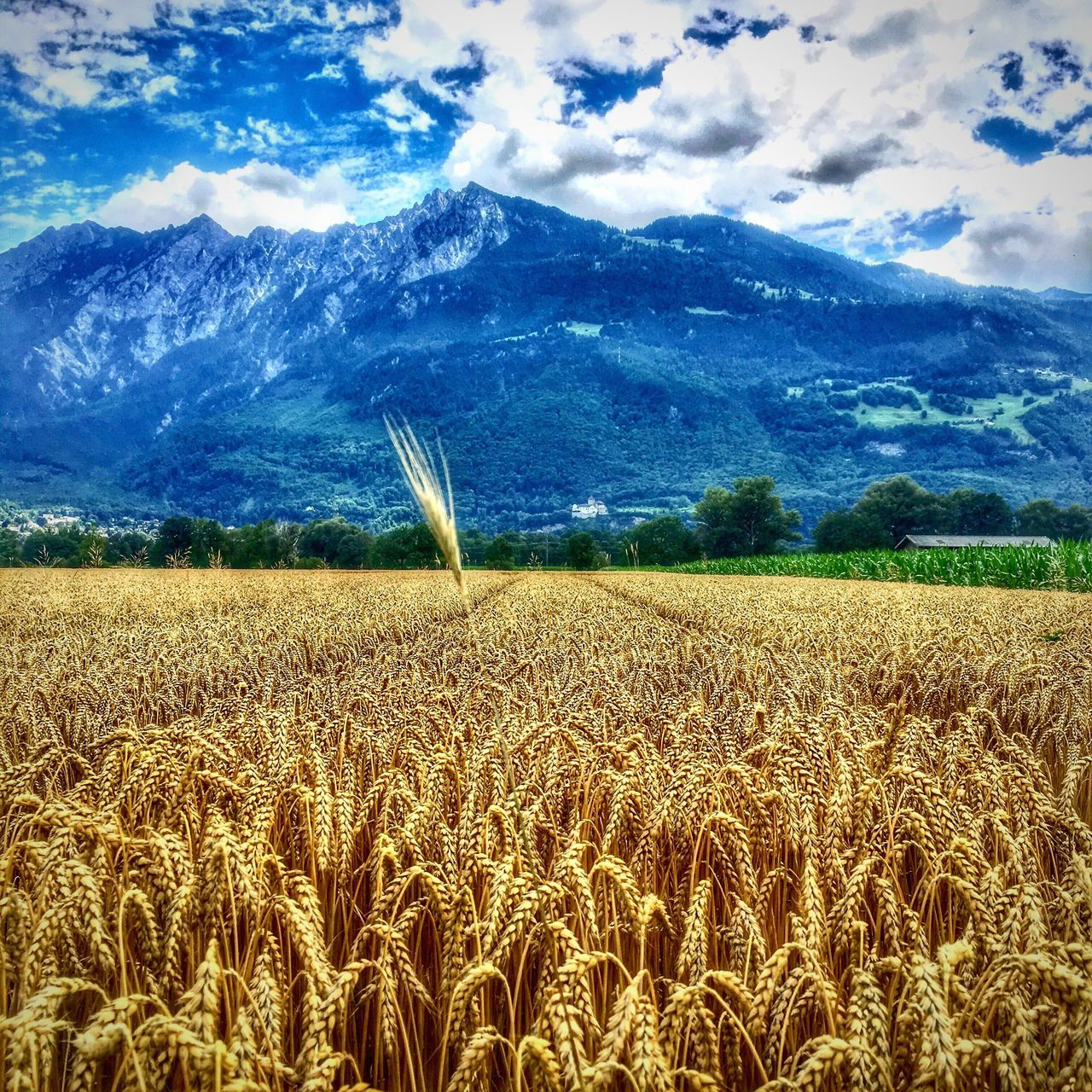 Sommergefühle Kornfeld Field Wearenotalone Crops Crops Field Fringe Cropcircles Nature Sky Cereal Plant Tranquility Tranquil Scene Growth Crop  Beauty In Nature Cloud - Sky Scenics Rural Scene Landscape Day Outdoors No People Ear Of Wheat Wheat Lost In The Landscape
