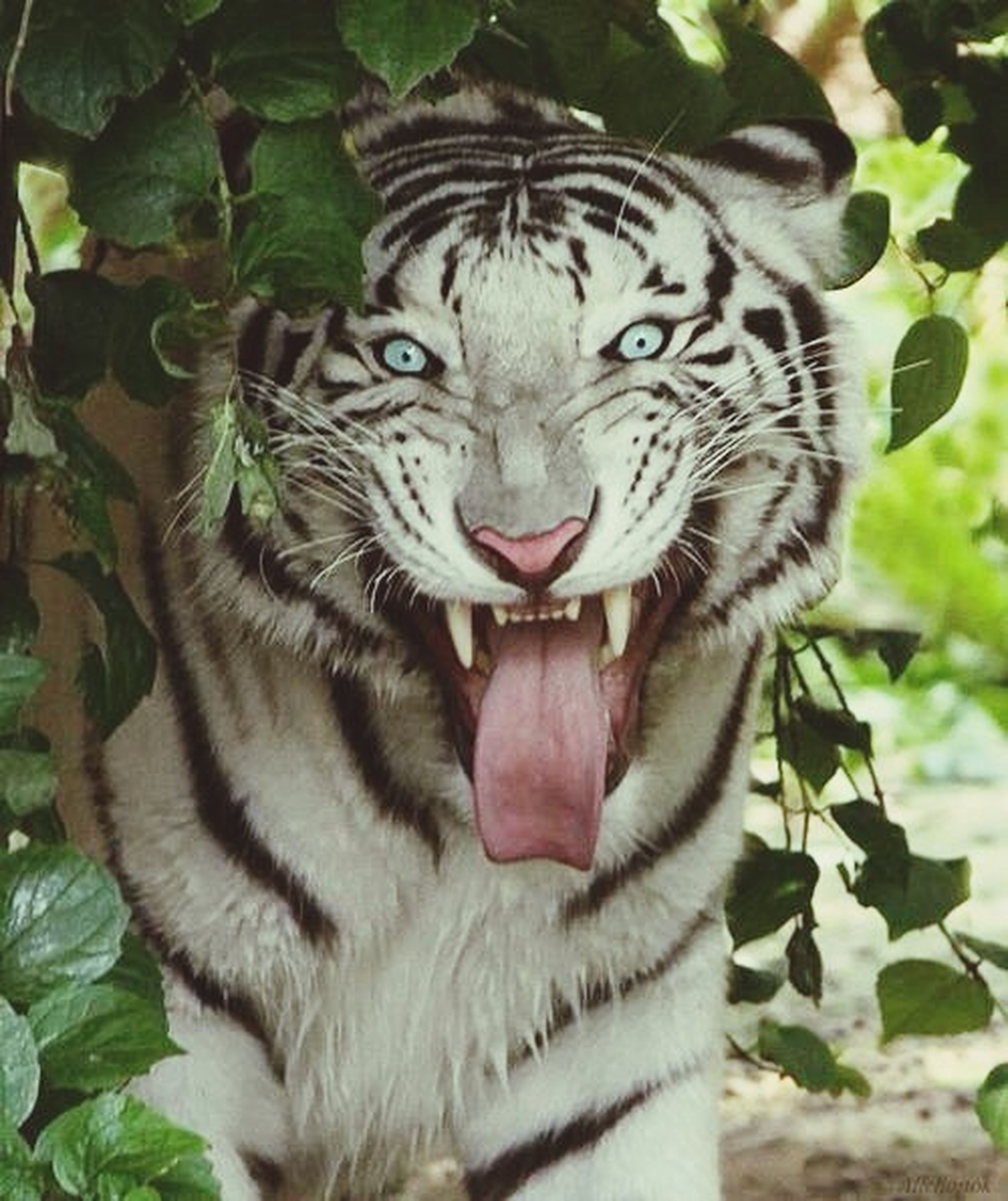 animal themes, one animal, animals in the wild, mammal, wildlife, animal markings, close-up, focus on foreground, tiger, portrait, looking at camera, outdoors, day, nature, no people, whisker, animal head, plant, feline, leaf