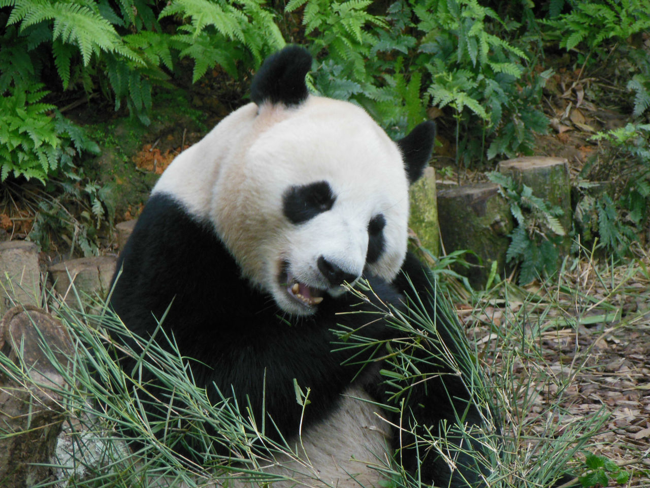 Animal Themes Animals In The Wild Bamboo - Plant Delicious Giant Panda Hungry Indulge Mammal One Animal Panda Panda - Animal Panda Bear Singapore Zoological Garden Way Of Life