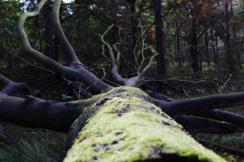 Fallen Tree Tree Forest Tree Trunk Moss Branch Outdoors Nature Day No People Tranquility Tree Area Beauty In Nature Close-up