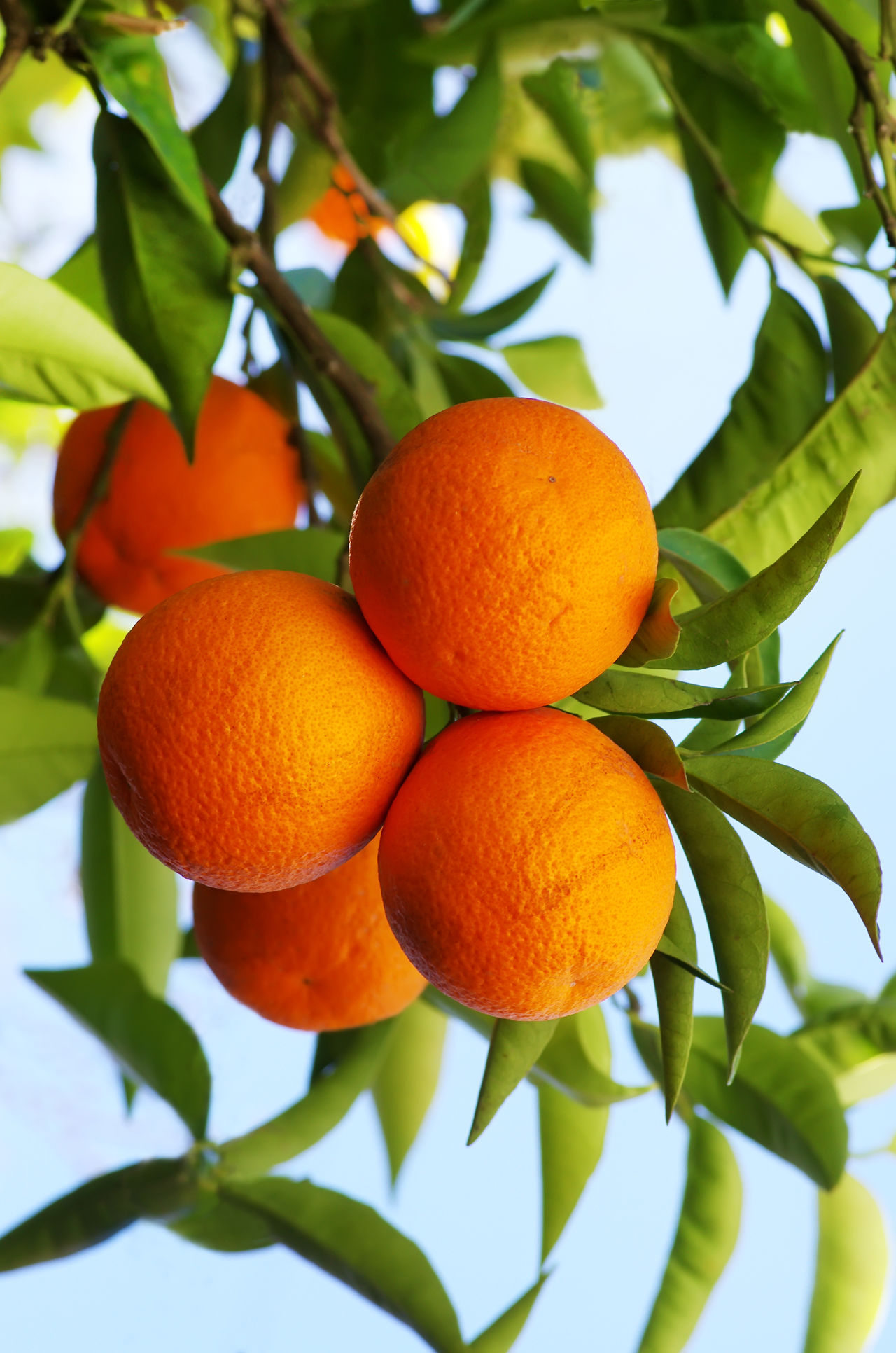 ripe oranges hanging on tree Hanging Around Agriculture Branch Citrus Fruit Close-up Food And Drink Fruit Green Color Growth Leaf Nature Orange - Fruit Orange Color Orange Tree