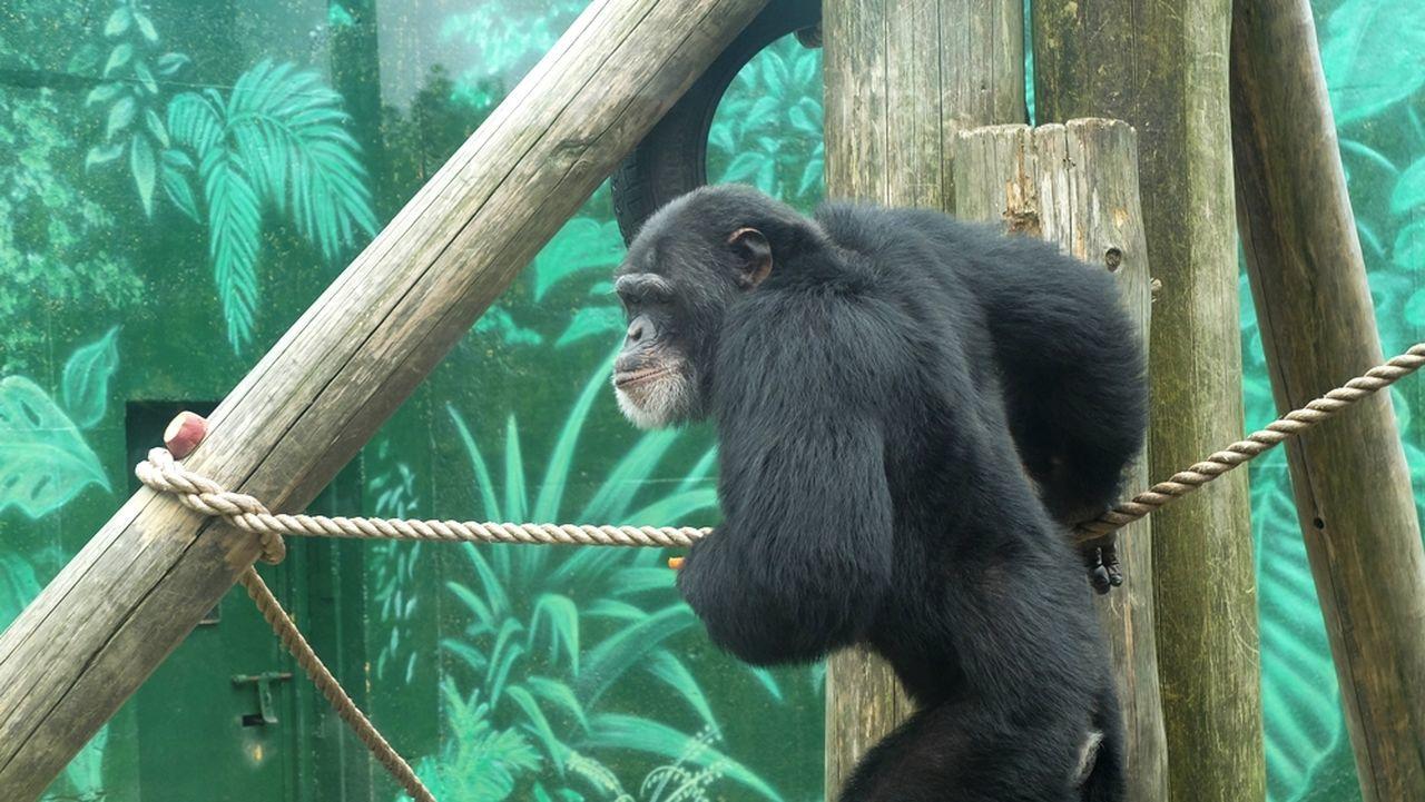 primate, animal themes, rope, one animal, animal wildlife, monkey, ape, mammal, animals in the wild, chimpanzee, day, no people, nature, outdoors, tree, sitting, close-up