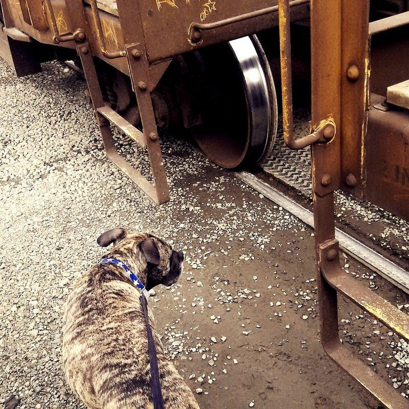 Trainspotting with Tankdog Streetwalker Walking Around Dogslife Cinnamonearthgrrl