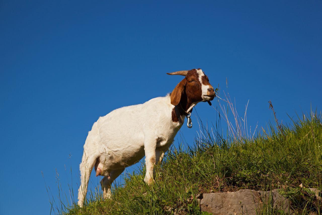 Beautiful stock photos of goat, animal themes, domestic animals, one animal, blue