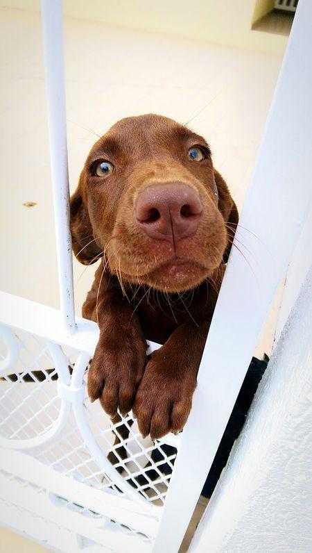No no no!!! I can't with it!!! This is so cute!!!! Puppy Brown Dogs Dog Life Pets Labrador Labrador Retriever Puppies Cute Pets Pet Portraits