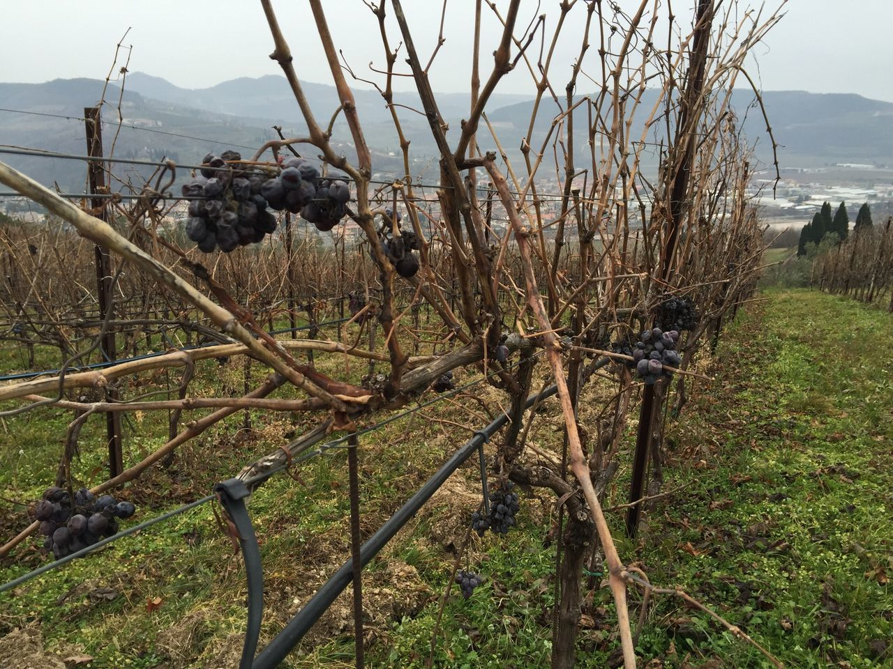 Grapes Winter Grapes Wine Yards Amarone