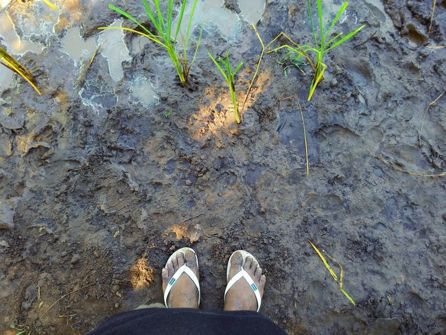 Farmer's Life I Am Farmer Rice Paddy Rice Field Rice Field In Thai Muddy 'here Belongs To Me'
