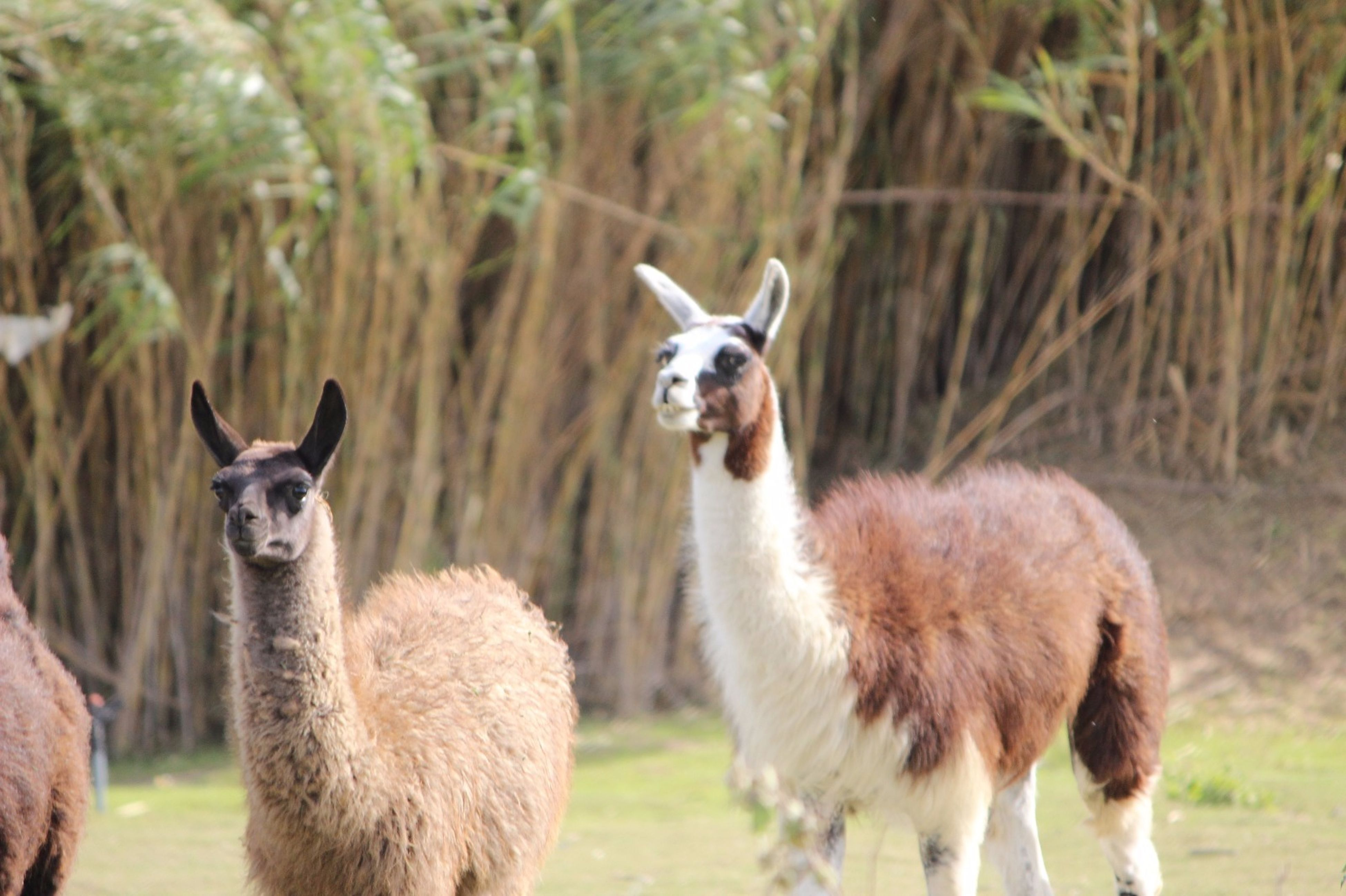 animal themes, mammal, field, portrait, looking at camera, no people, grass, nature, day, outdoors, livestock, animals in the wild, domestic animals, alpaca