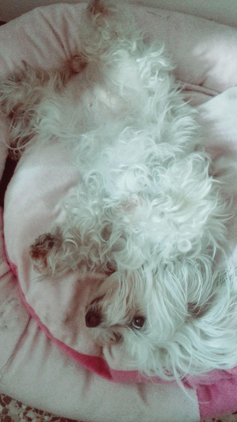 Sweet Milky Dog Maltese Relaxing Home, sweet home