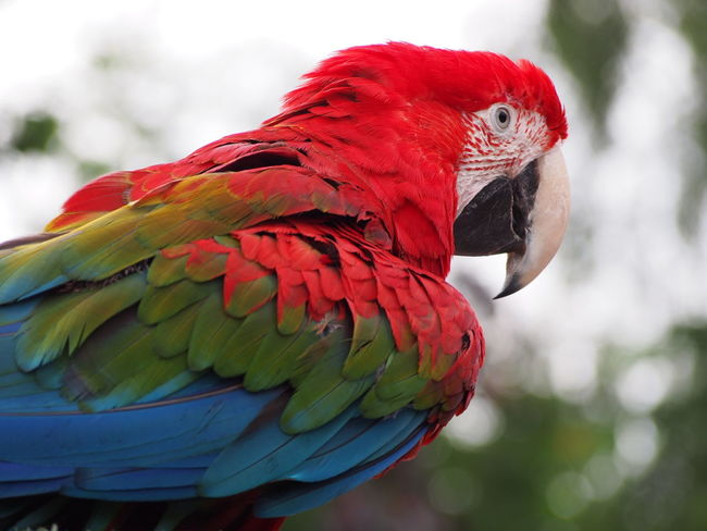 Bird Close-up Macaw Macaw Parrot Nature Parrot Red Side View Vibrant Wildlife