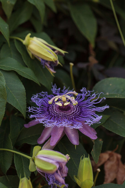 Purple passion flower Passiflora caerulea on a vine in a garden in summer Beauty In Nature Blooming Blossom Botany Close-up Day Flower Flower Head Fragility Freshness Growth In Bloom Nature Passiflora Caerulea Passion Flower Petal Plant Purple Springtime
