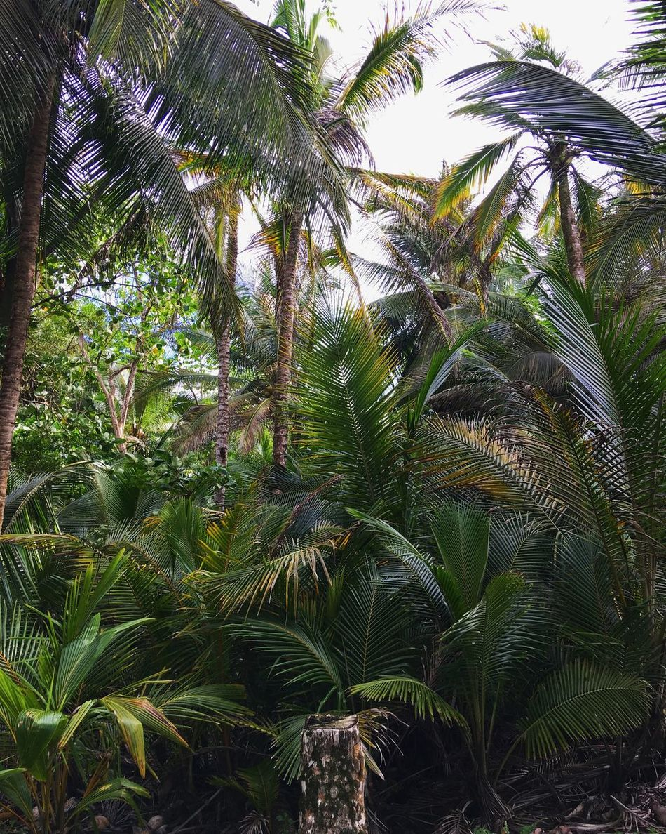Palm Tree Palm Trees Palm Forest Jungle Savage Wildlife Wild Wildlife & Nature Jungle Shoot Jungle Life Palm Palmtree Tropical Climate Tropical Tropical Paradise Green Color Tree Beauty In Nature Central America Latin America Panamá Bocas Del Toro Island Islandlife Archipel
