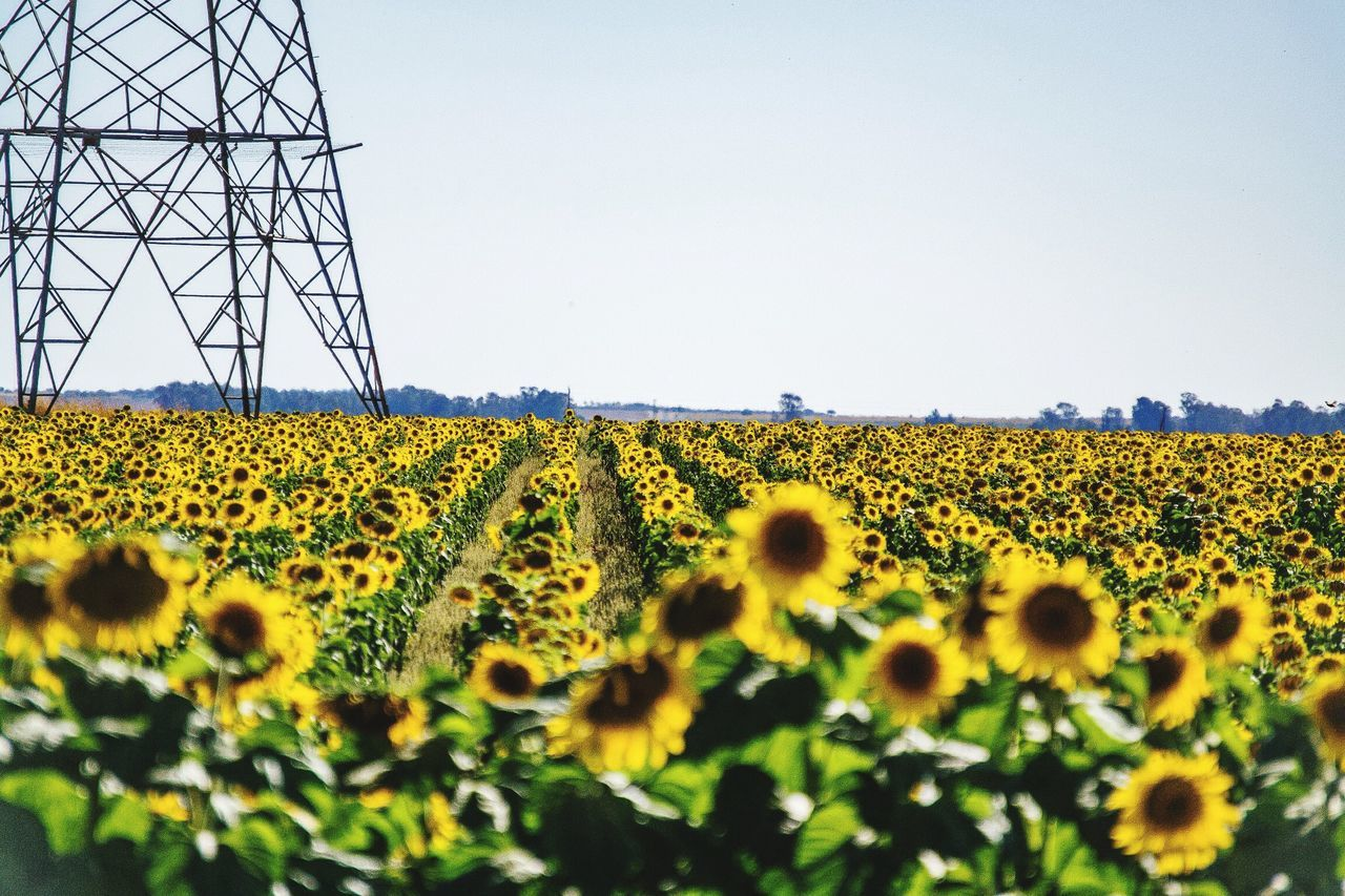 Beautiful stock photos of sunflower, Beauty In Nature, Blooming, Clear Sky, Day