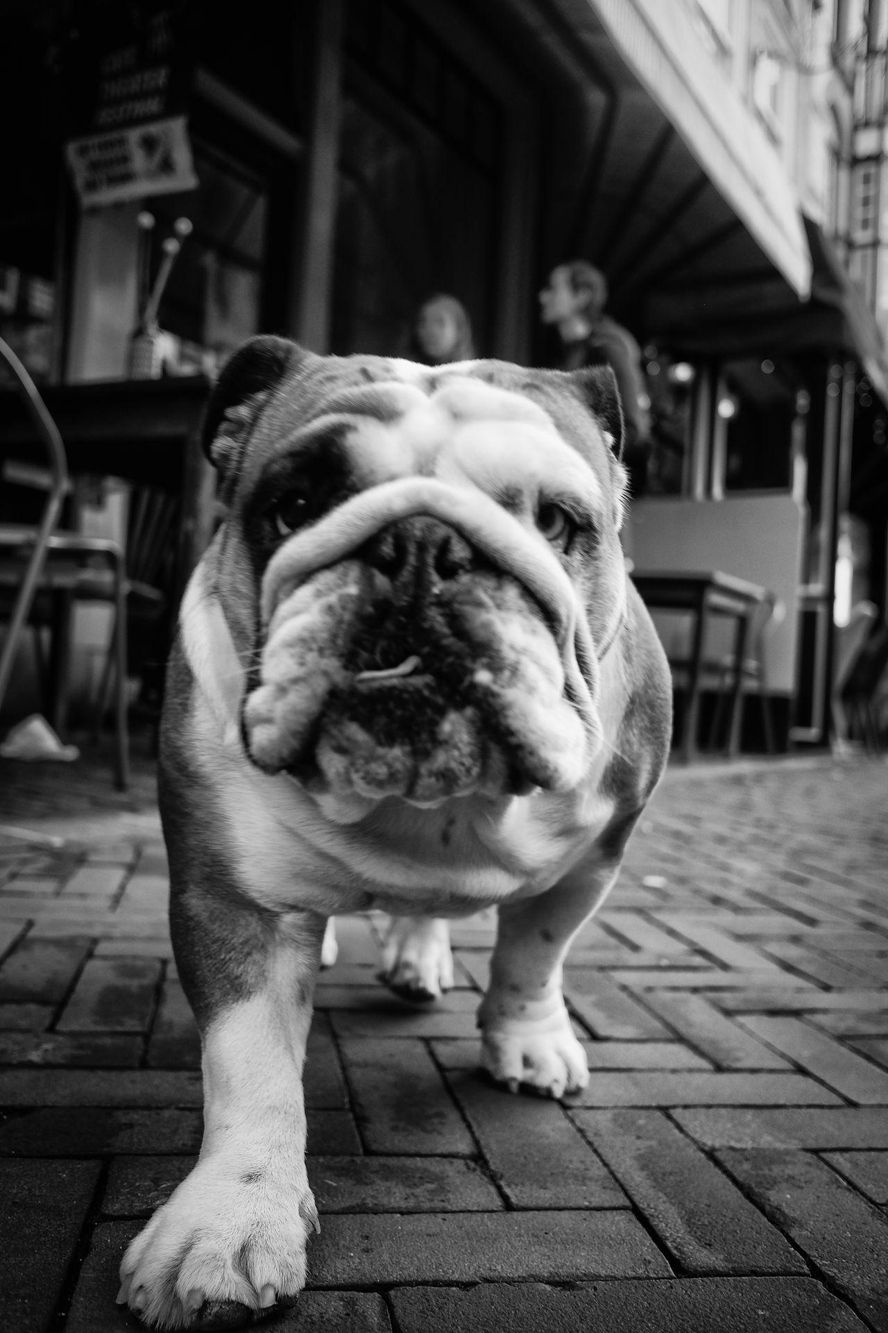 Gonna catch ya... Animal Themes B&w Blackandwhite Close-up Day Dog Domestic Animals English Bulldog Mammal Monochrome No People One Animal Outdoors Pets