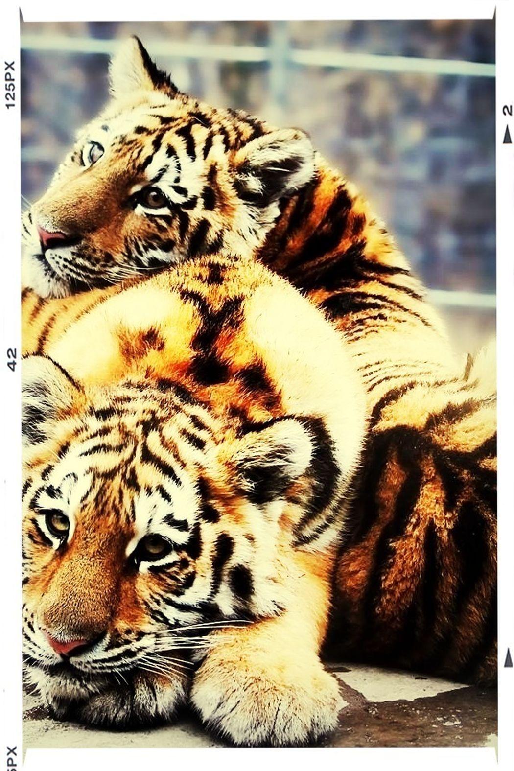 Tiger #tiger #wild #animal