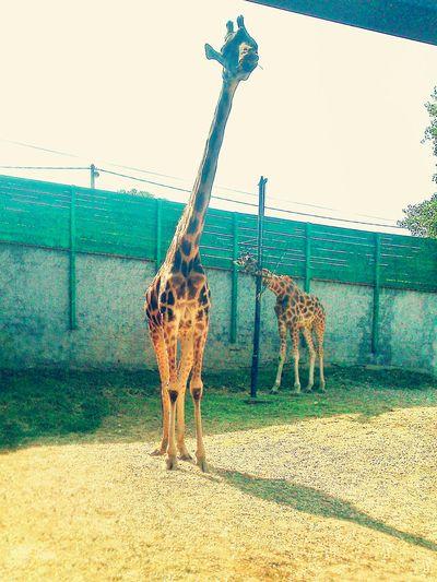 RePicture Travel Babygiraffe Girl Sunnyday Zoo Serbia