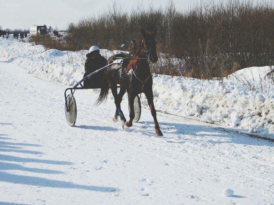 Победительница звездам русских рысистых лошадей старшего возраста