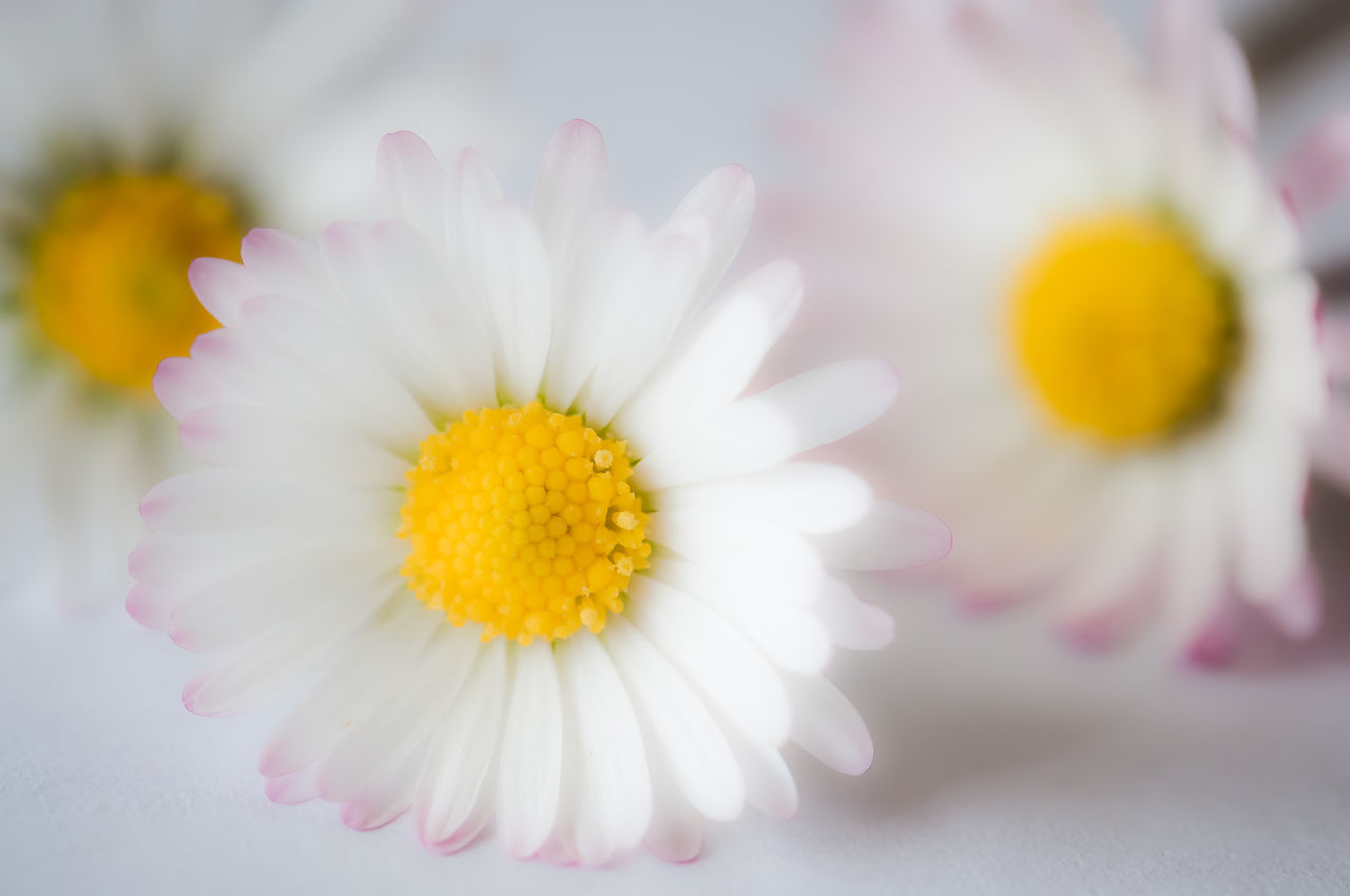 Daisy Beauty In Nature Close-up Day Flower Flower Head Fragility Freshness Nature No People Outdoors Petal Pink Color Pollen Yellow Nikonphotography