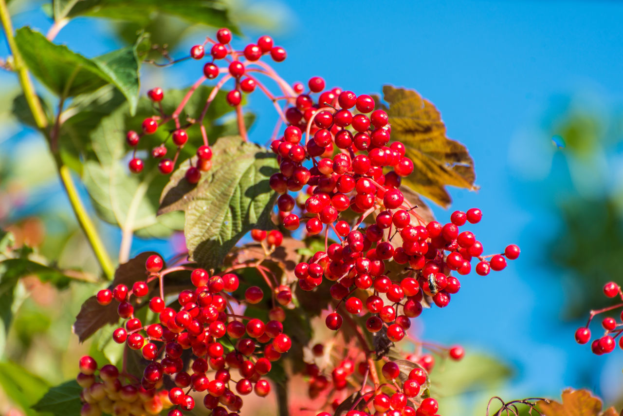 red berries plant Beauty In Nature Berries Close-up Day Freshness Friends Growing Growth Nature No People Outdoors Plant Red Colour Of Life Millennial Pink
