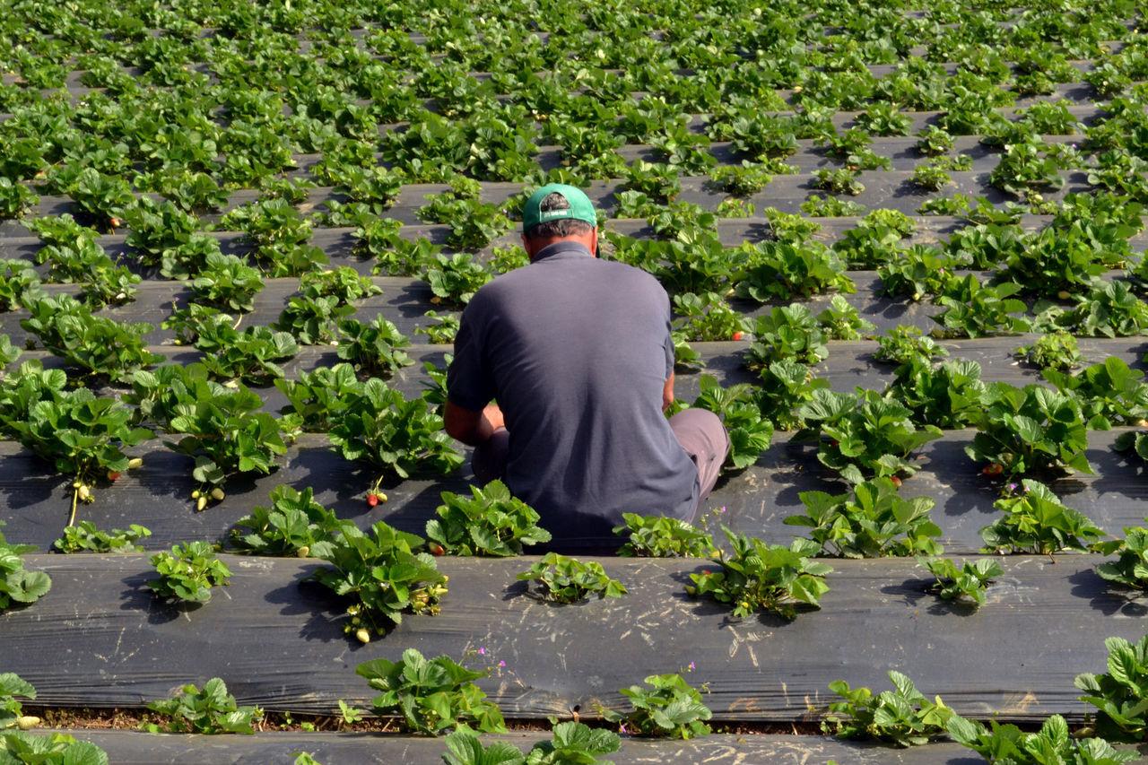 EyeEmNewHere Plants 🌱 Plantação Morango Pessoa Plantation Strawberry Women Around The World