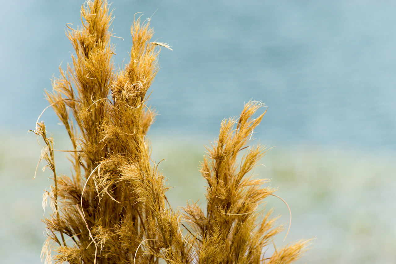 nature, day, growth, no people, outdoors, focus on foreground, plant, beauty in nature, close-up, wheat, cereal plant, sky