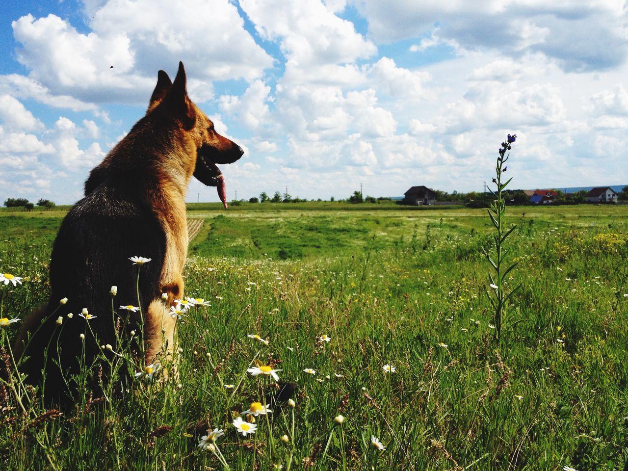 Beautiful stock photos of german shepherd, Animal Themes, Beauty In Nature, Cloud - Sky, Day