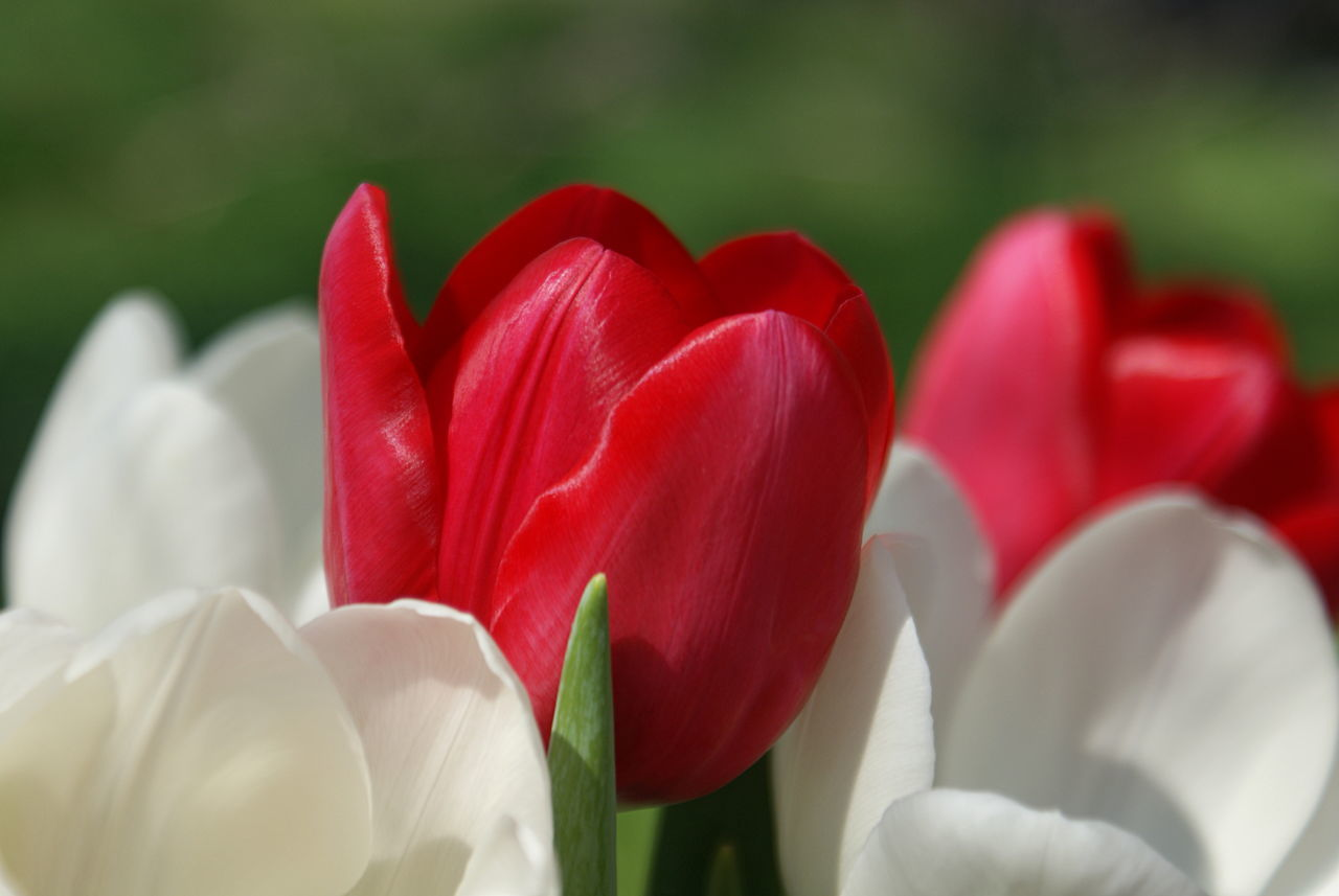 A red tulip stands in the foreground, surrounded by white tulips and a soft background of green growth on a spring day. Beauty In Nature Blooming Blurred Background Close-up Day Flower Flower Head Focus On Foreground Fragility Freshness Green Greenery Growth Nature No People Outdoors Petal Red Tulip White