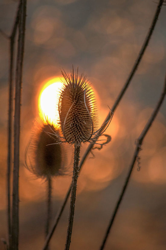 Backlight Dipsacus Fullonum Nature Sunset_collection Teasels Winter Backlit Beauty In Nature Close-up Fuller's Teasel No People Outdoors Sky Sunset Wild Teasel