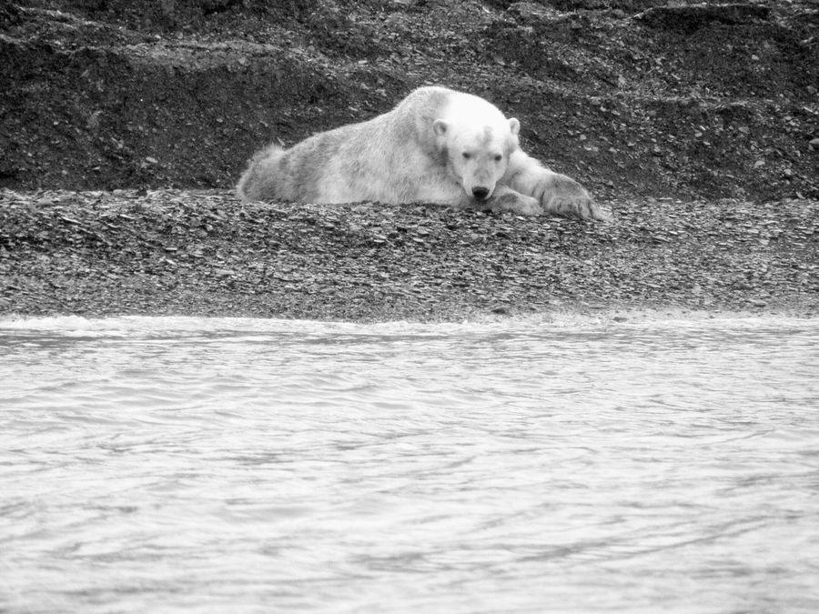 It was the first Polar Bear I'd seen in my life. Can't describe the feeling. Taking Photos Check This Out Hello World Travel Photography North Pole Arctic Animals Nature Preety