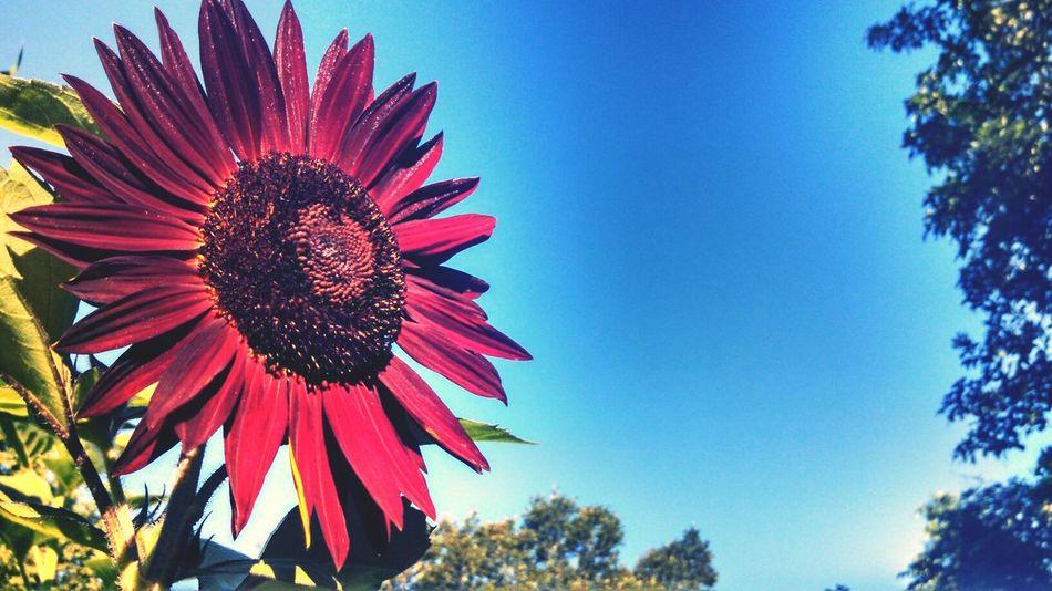 Sunflower Eye For Photography EyeEm Nature Lover Blue Sky
