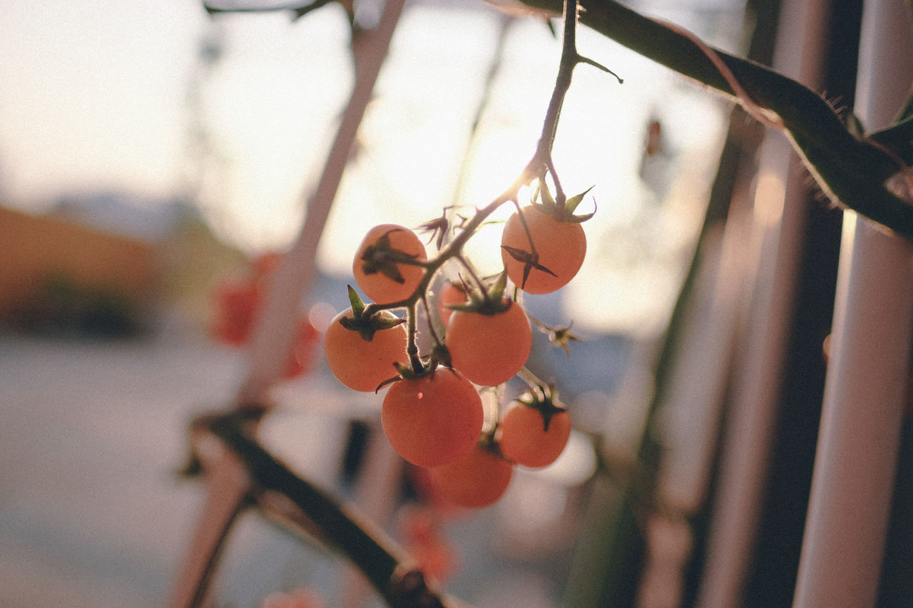 Close-up EyeEm Nature Lover Focus On Foreground Fruit Morning Light Nature Plants 🌱 Tomatoes
