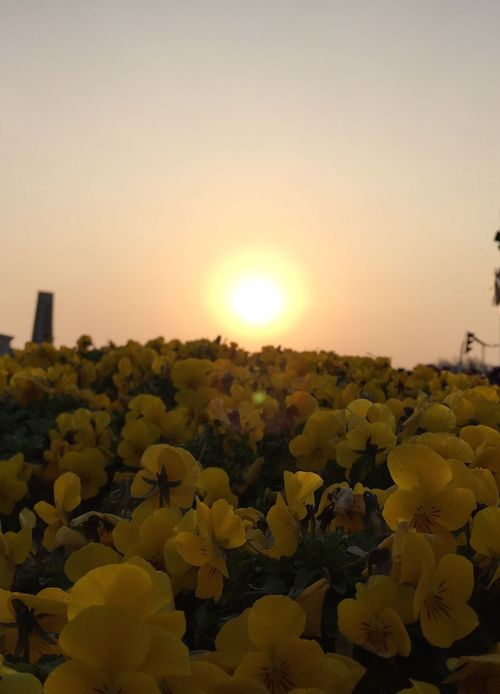 Flower Sunset Beauty In Nature Nature Freshness Growth Yellow Sky Fragility Plant Field Sun No People Outdoors Scenics Flower Head Day IPhone IPhoneography