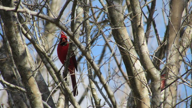 Showcase: February Redbird Cardinal Winter