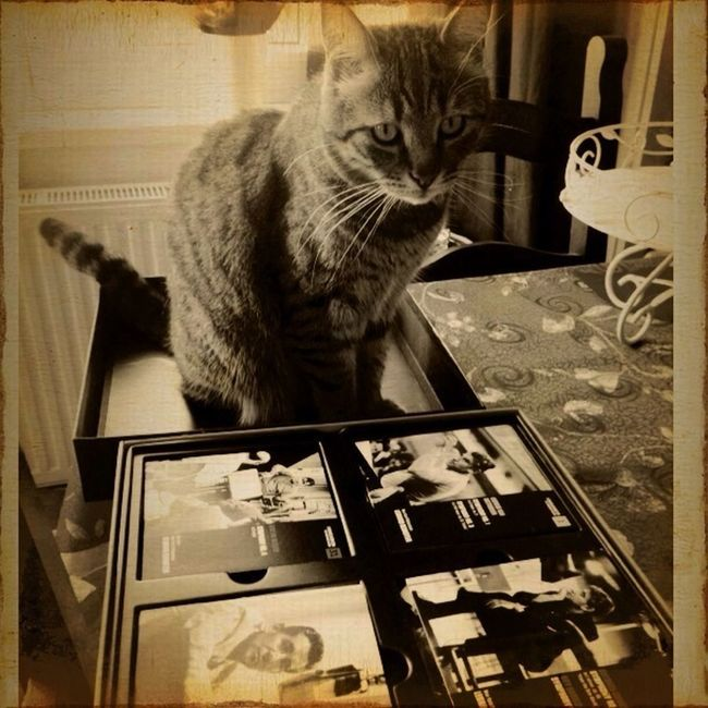 Cat Pets Listening To Music Leonard Bernstein