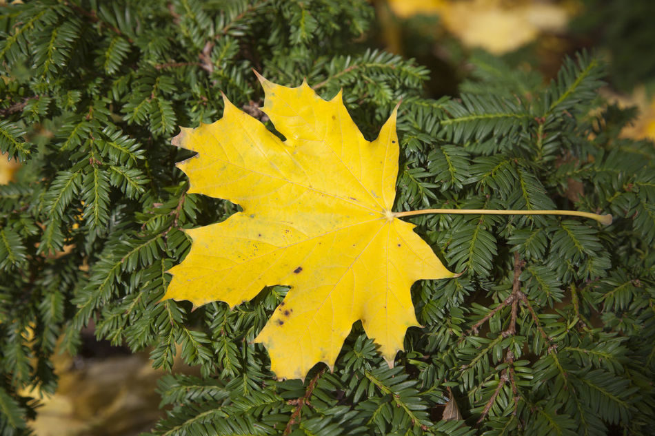Autumn Beauty In Nature Close-up Day Growth Leaf Maple Maple Leaf Maple Leafs Nature No People Outdoors Tree Yellow