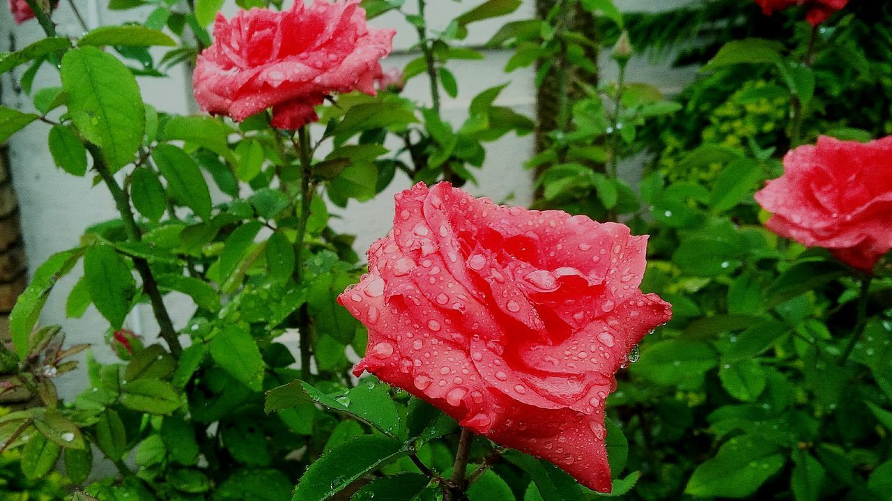 Beauty In Nature No People Red Flower Growth Freshness Plant Rosé Rainy Days Rain Driops South Africa Limpopo Mzansi Mythgraphix Visuals EyeEm Gallery EyeEm New Here