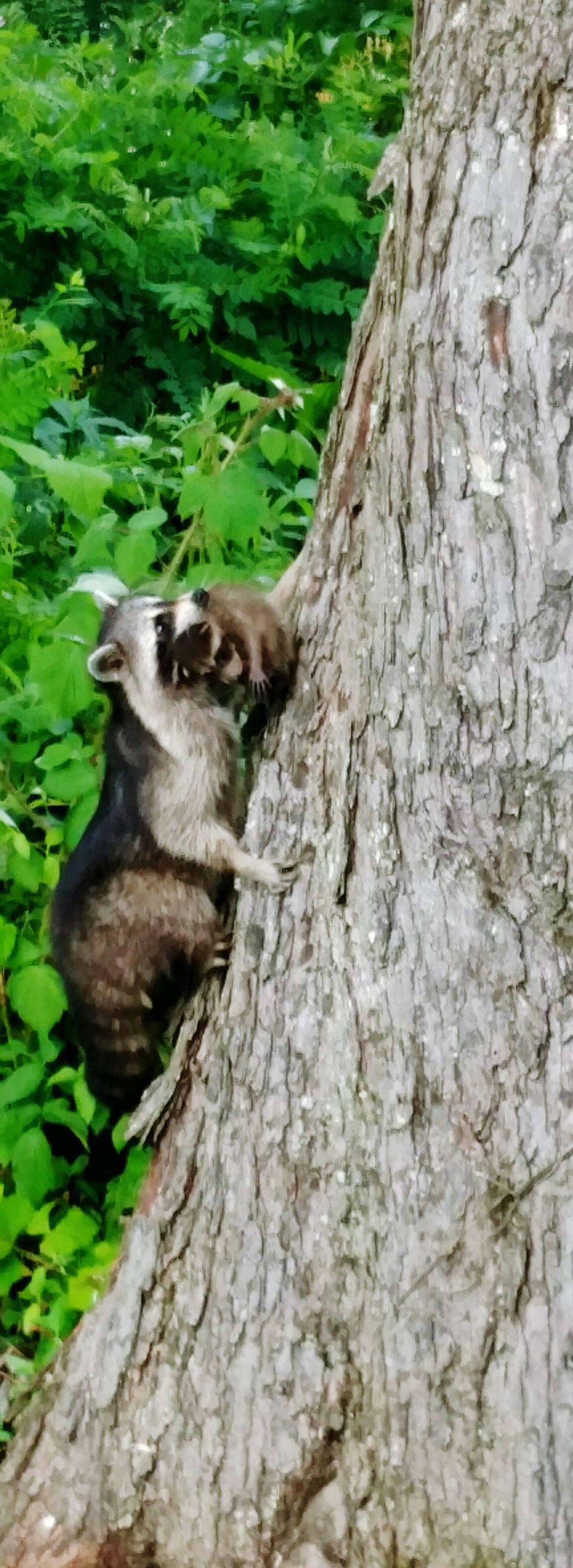 Baby Raccoons Raccoon