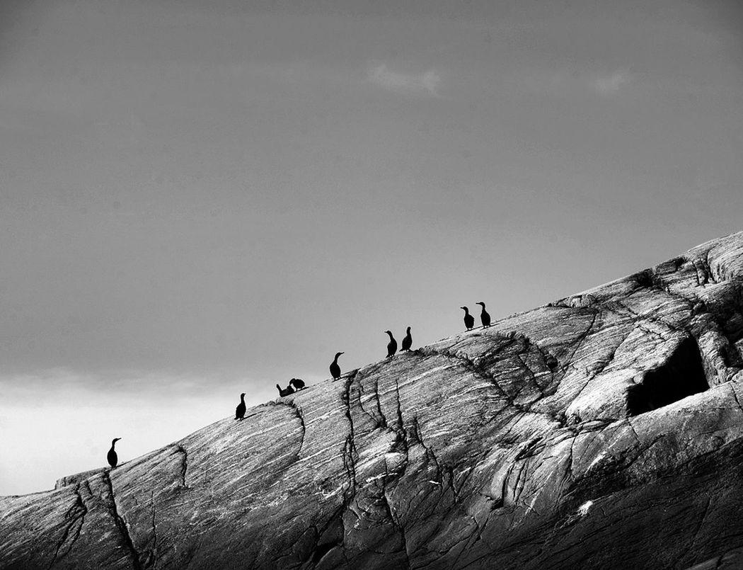 From Myken. Cormorants creating a nice pattern. Cormorants Myken Wildnature Norway🇳🇴 Helgelandskysten Blackandwhite Photography First Eyeem Photo