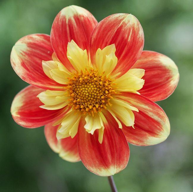 Flower Dhalia Red Yellow M.Zuiko 45mm 1:1,8 Blomma Rod Gul