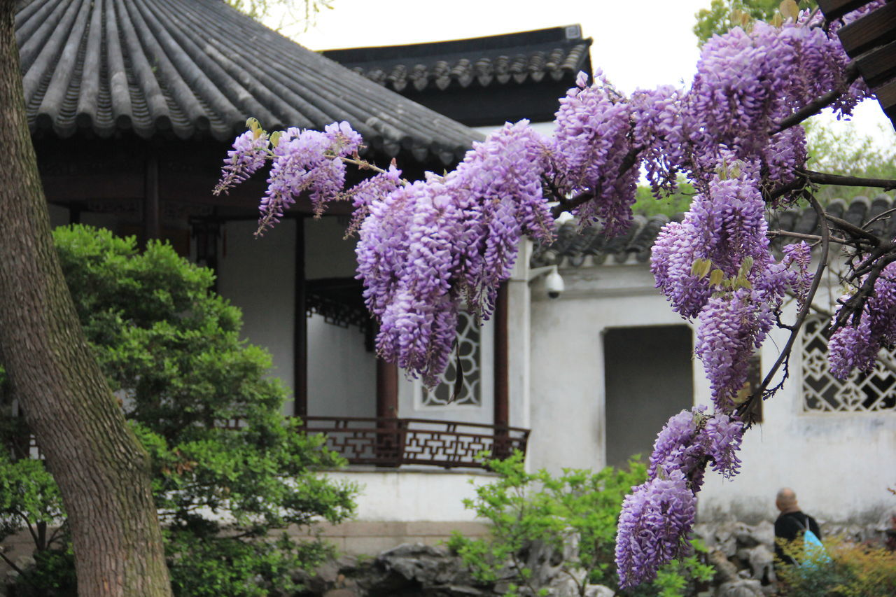 purple, built structure, architecture, building exterior, tree, flower, house, nature, day, fragility, growth, outdoors, beauty in nature, pink color, springtime, no people, freshness, lilac, branch, close-up