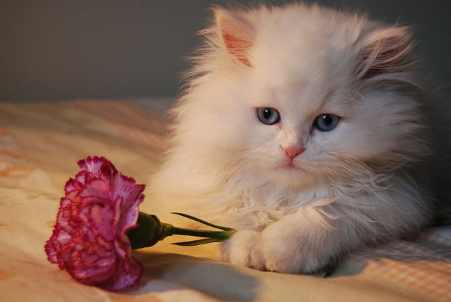 Angoracat Animal Head  Beautiful Beauty Carnation Cat Cats Catsagram Catsofinstagram Close-up Comfortable Cute Feline Flower Indoors  Istanbul Joy Kitty Love One Animal Pets Portrait Turkey Whisker White
