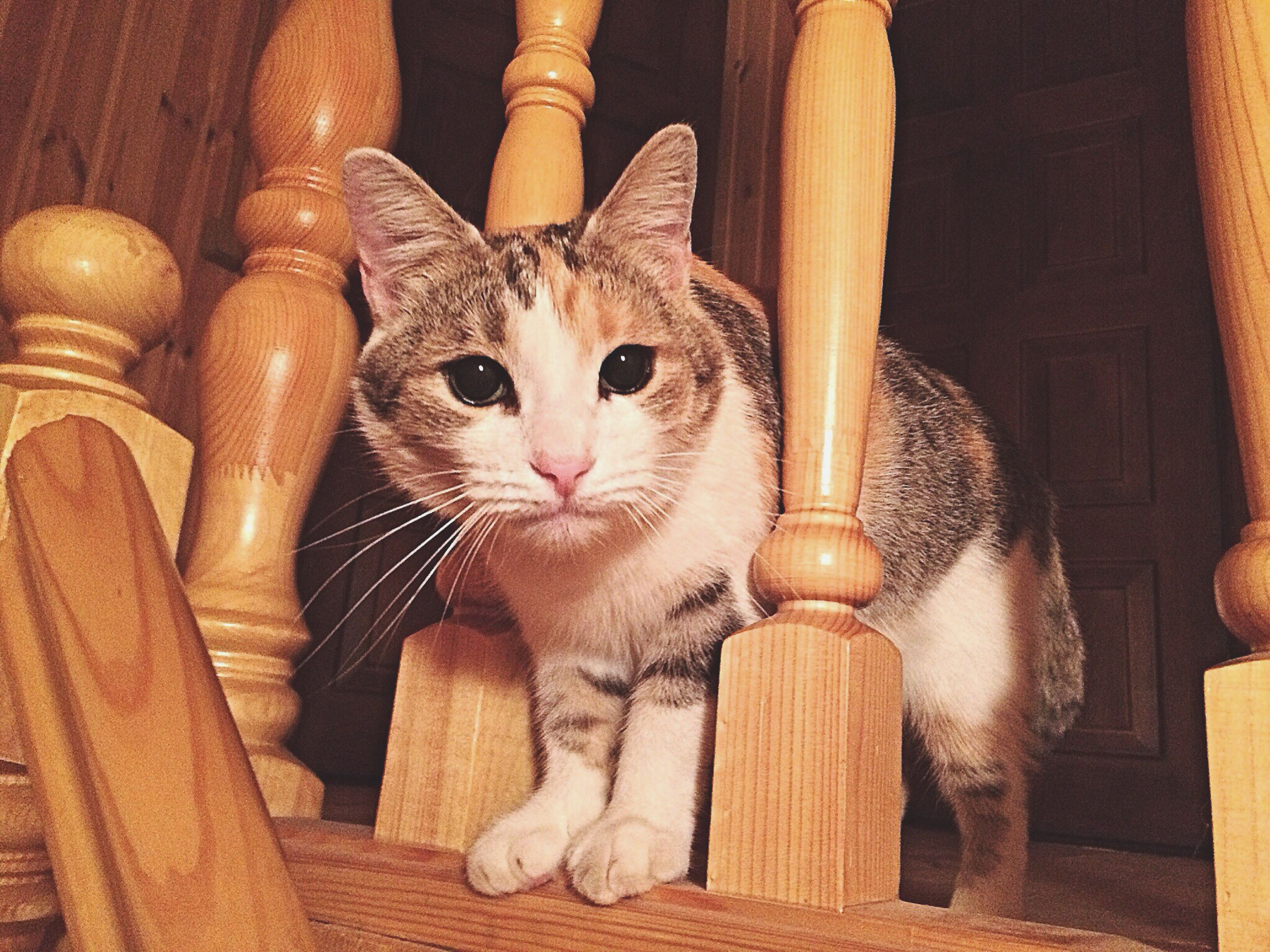 domestic cat, domestic animals, cat, pets, animal themes, mammal, feline, indoors, portrait, looking at camera, one animal, whisker, kitten, home interior, relaxation, no people, close-up, wood - material, young animal, sitting