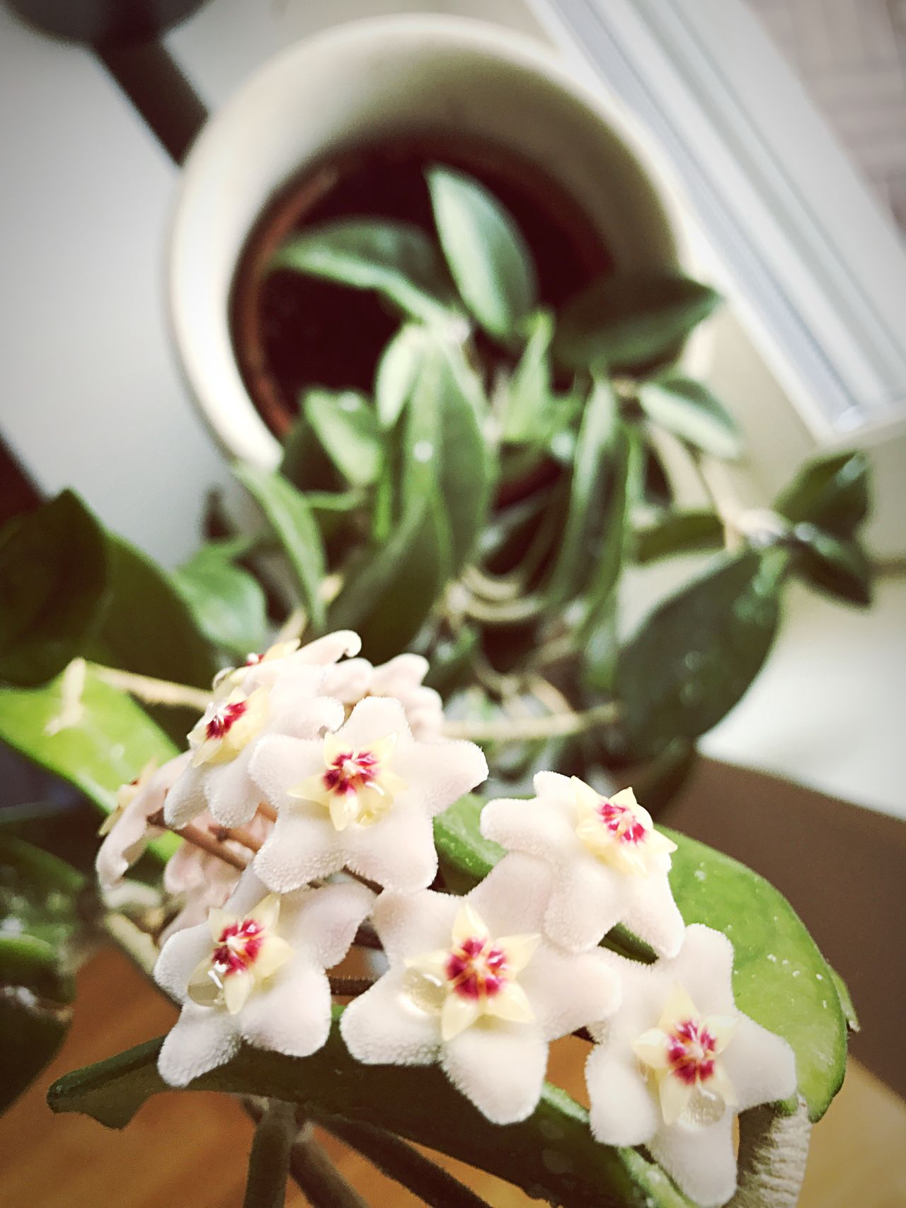 Hoya carnosa in our kitchen Freshness Flower Indoors  No People Close-up Focus On Foreground Leaf Plant Fragility Day Nature Flower Head Hoya Flowers Hoya Carnosa Flowers Plants And Flowers Flowers,Plants & Garden Flower Collection Flowers_collection