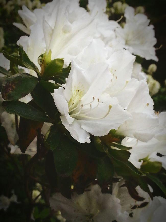 Taking Photos Schloss Dennenlohe Flower Collection Eye Em Nature Lover White Flower White EyeEm Flower Rododendronpark